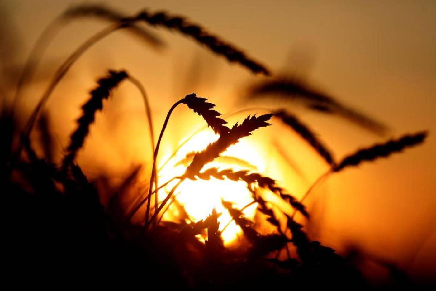 Fifth of world's calories threatened as climate scientists sound alarm over wheat