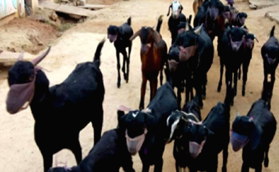 Fearing corona, Telangana farmer puts masks on goats