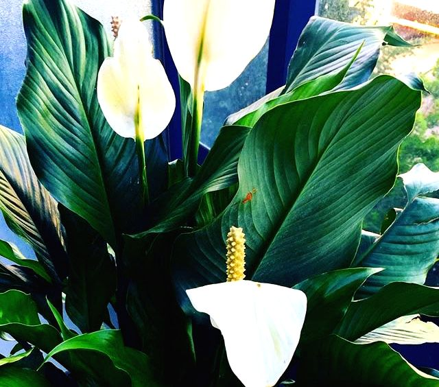 Forget air purifier, try Peace Lily at home