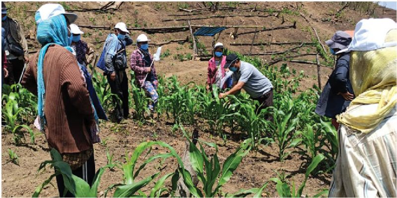 Fall Army Worm attack reported in villages under Mokokchung dist