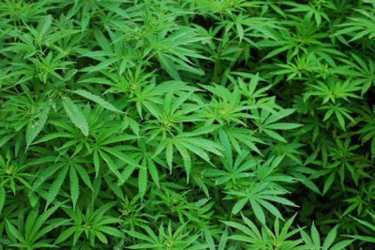Marijuana linked to increased risk of heart problems