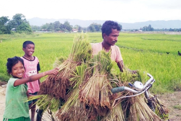 A father and his children transporting rice saplings