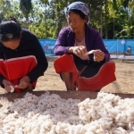 Two elderly women clean raw cotton...