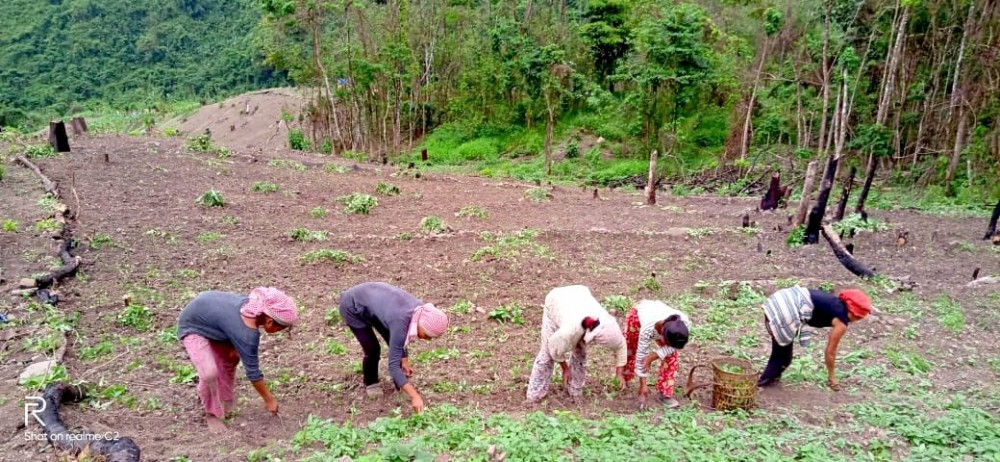 Akholu and her family pull weeds in their ginger field in a village in Phek district on May 20. (Morung Photo)