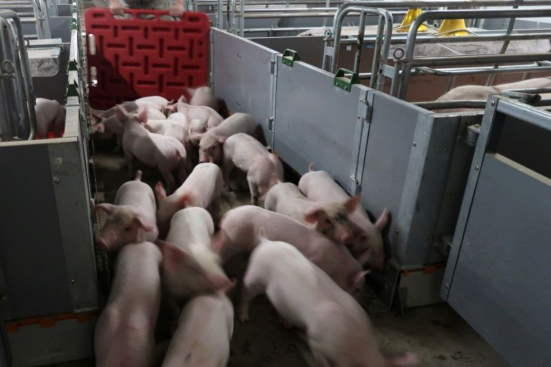 Workers move young pigs at a farm in Guangxi, China on March 21, 2018. (REUTERS File Photo)