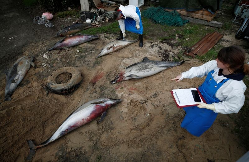 Experts at the Observatoire Pelagis examine the bodies of dolphins, which were found dead on a beach, during scientific autopsies at municipal technical services in Barbatre on the Noirmoutier Island, France on February 11, 2020. (REUTERS File Photo)