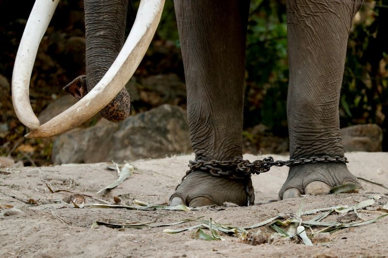 An elephant is seen chained at his enclosure at Khao Kheow Zoo in Chonburi, Thailand on November 30, 2019. (REUTERS File Photo)