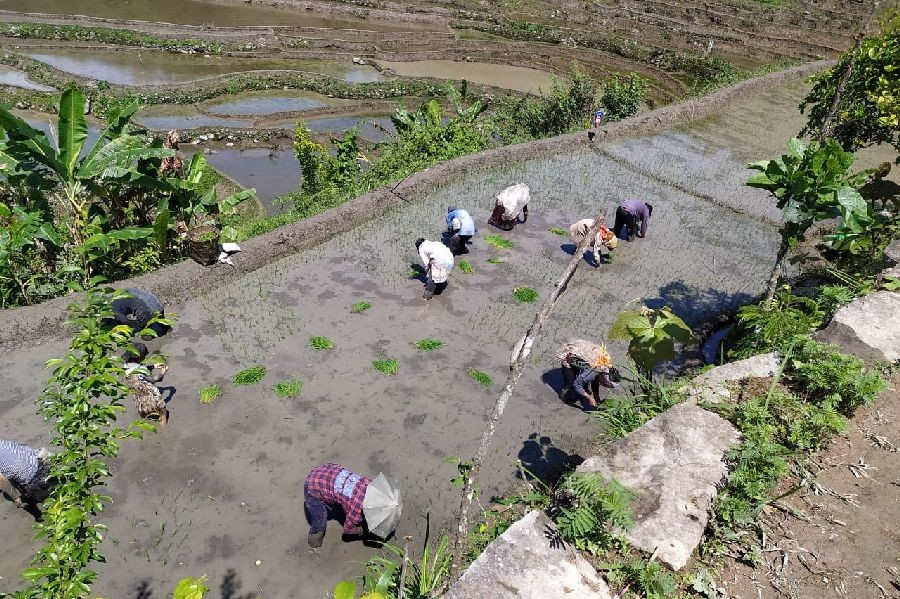 People attending paddy field at Chizami in Phek district. (Morung Photo)