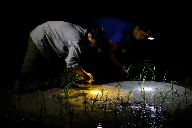 Farmers plant rice on a paddy field during early morning to avoid the heat in Hanoi, Vietnam on June 25. (REUTERS Photo)