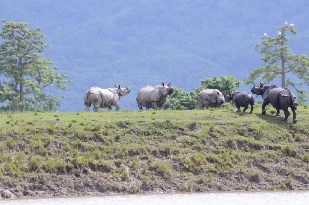 Rhinoceros take shelter on highland in the flooded Kaziranga national park. Assam Chief Minister Sarbananda Sonowal informed in a tweet on July 16 that he has directed the officials to enforce strict measures to ensure safety of the animals, including those which stray out from their natural habitats due to floods. (Photo Courtesy: @sarbanandsonwal / Twitter)