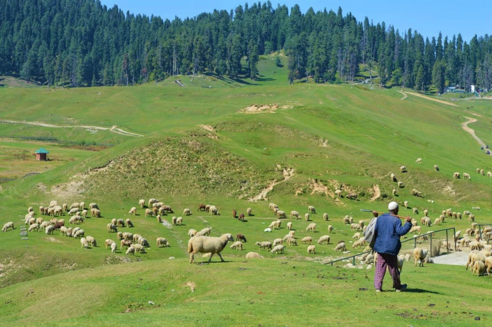 A herder grazes his sheep in Gulmarg meadow, a renowned tourist resort 45km west of Srinagar, Kashmir, India, September 20, 2020. Thomson Reuters Foundation/Athar Parvaiz