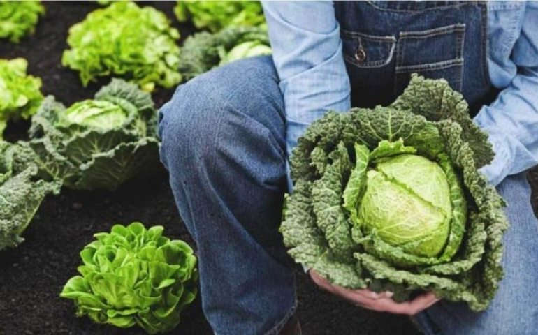 Compound in cabbage helps fight fatty liver disease
