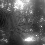 Rare Sumatran tiger, clouded leopard captured on camera